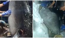 陸漁民捕「350公斤大魚」賣43萬 行家:少賺1個零
