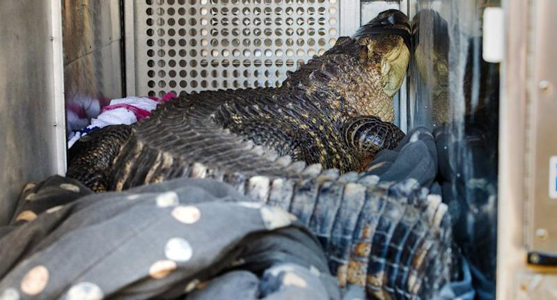 The landlord found the alligator in the hot tub in Missouri, US