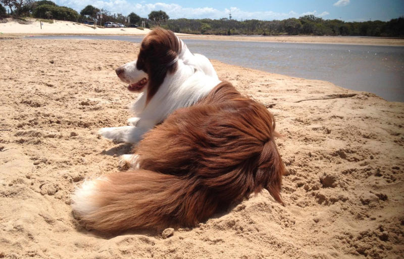 Some argue a dog's coat helps regulate their temperature in summer and protects them from the sun. Pictured is a stock image of a dog lying on the beach.