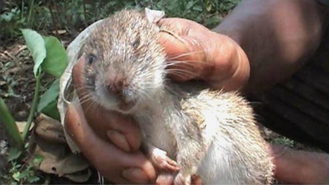 Tikus, hewan yang membawa penyakit Leptospirosis. (Foto: Liputan6.com/Muhamad Ridlo)
