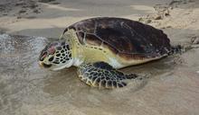 農漁局野放救護收容海龜 回歸大海懷抱