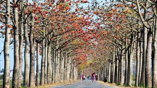 全球15條最美花海街道!白河木棉花綻放只到3月
