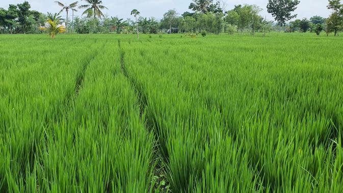 Dengan Alsintan, Ditjen PSP Terapkan Pertanian Modern di Lokasi Food Estate