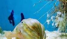 海底也有「水晶餃」!烏賊卵晶瑩剔透超吸睛