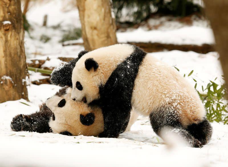 'Kebahagiaan sejati': Panda raksasa di Kebun Binatang Nasional AS melahirkan anak yang sehat