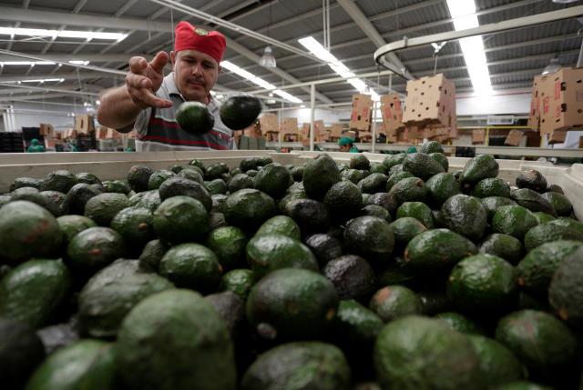 Un trabajador selecciona aguacates en una bodega empacadora en Michoacán, México. (Reuters)