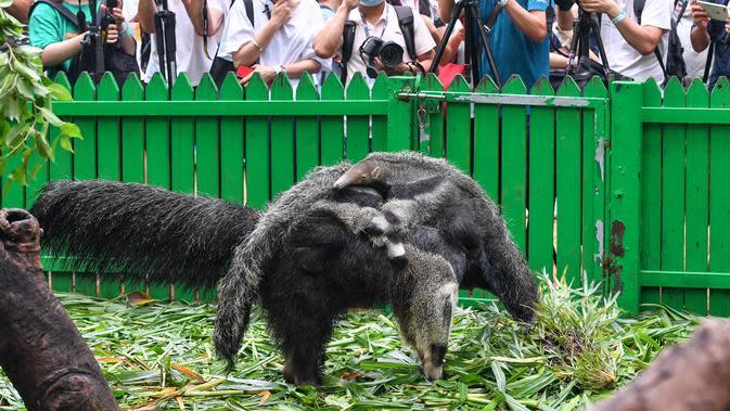 Seekor induk tenggiling bersama dua bayinya terlihat di Taman Safari Chimelong di Guangzhou, Provinsi Guangdong, China pada 10 Juni 2020. Bayi tenggiling kembar jantan dan betina, yang lahir pada 3 Maret tahun ini, diperkenalkan ke publik . (Xinhua/Liu Dawei)