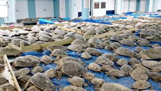 美國得州大停電:4700隻凍僵海龜被救起,入住當地庇護所