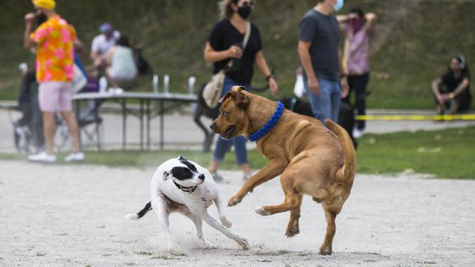 Anjing- anjing peliharaan bermain bersama dalam acara Party 4 Paws 2020 di Toronto, Kanada, 30 Agustus 2020. Sebuah acara yang cocok dikunjungi keluarga, pameran hewan peliharaan ini menarik ratusan pengunjung bersama anjing peliharaan mereka. (Xinhua/Zou Zheng)