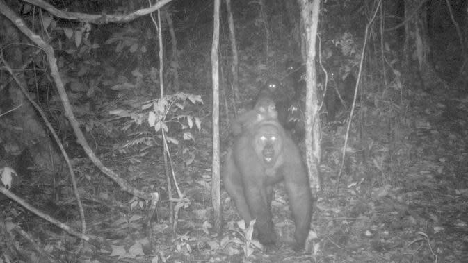 Foto jebakan kamera menunjukkan sekelompok gorila Cross River di Pegunungan Mbe Nigeria pada 27 Mei 2020. Dalam perburuan yang langka, konservasionis telah menangkap gambar baru gorila paling langka di dunia dengan beberapa bayinya. (WCS Nigeria via AP)