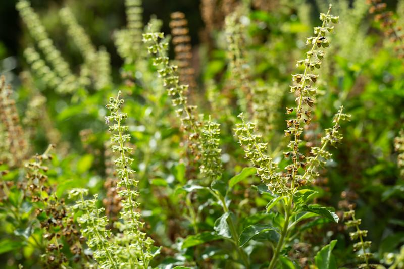 Green, Fresh, Withered Basil flowers (Ocimum basilicum) in garden, Close up & Macro shot, Abstract Blurred Background