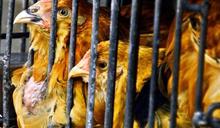 波蘭部分地區爆禽流感 港暫停進口禽類產品