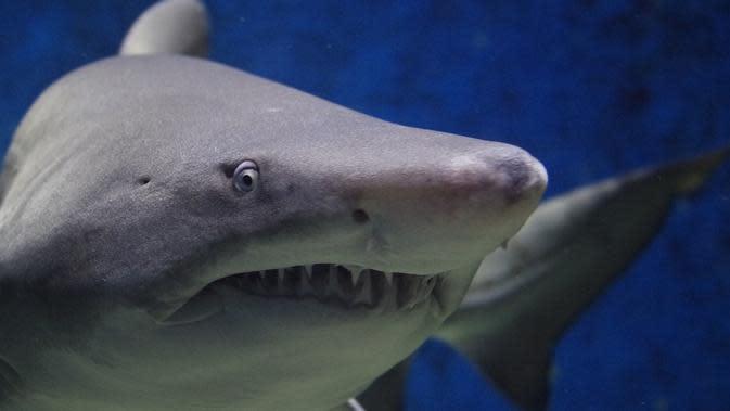 (Foto: Fgyongyver/ Pixabay) ilustrasi sernagan hiu.