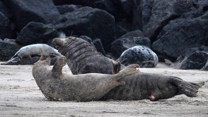 Tingkah sepasang anjing laut abu-abu usai melakukan kawin di pantai Pulau Helgoland, Jerman, 5 Januari 2020. Setelah tiga minggu menyusui, induk anjing laut abu-abu akan membiarkan anaknya mengurus diri mereka sendiri. (John MACDOUGALL/AFP)