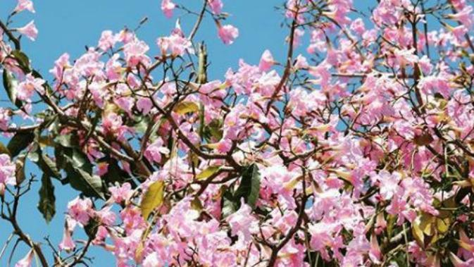 Bunga Pohon Tabebuya kembali mekar di Surabaya, Jawa Timur. (Foto: Dok Instagram @sapawargasby)