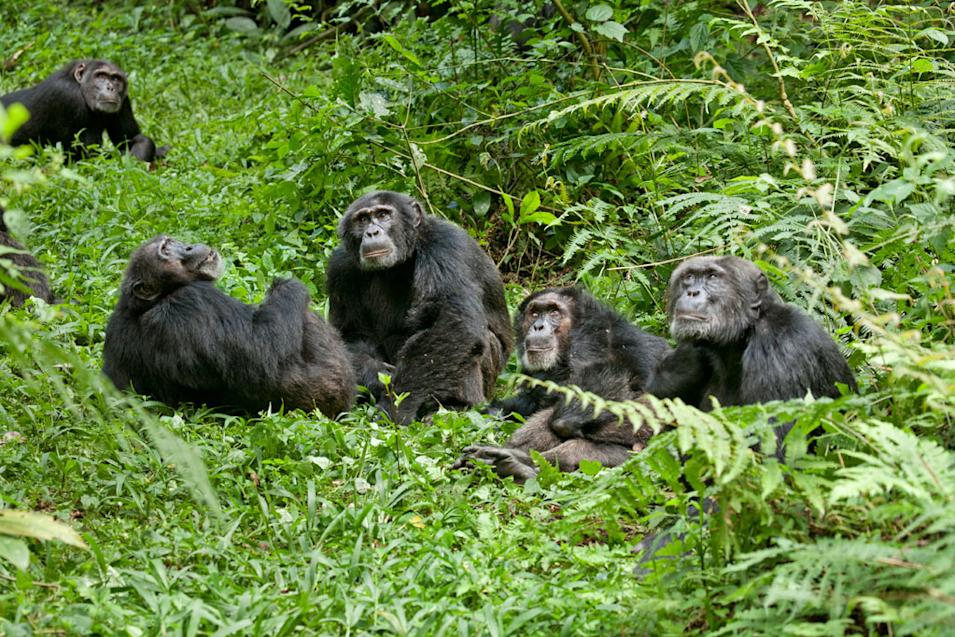 Five Film Facts Chimpanzee