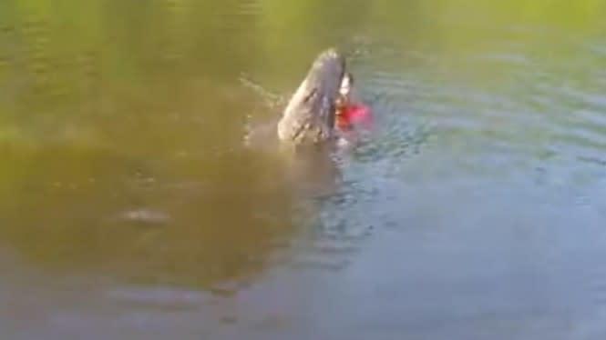 Pria ini Nekat Berenang Bersama Buaya Besar, Lihat Apa yang Terjadi