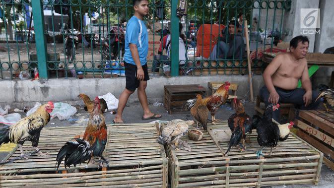 Cara Beternak Ayam Kampung untuk Pemula, Mudah dan ...