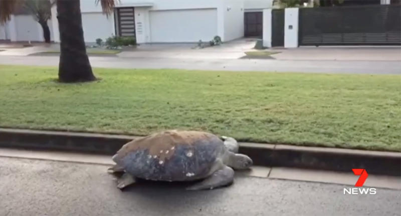 Mackay couple finds turtle in their driveway 400 metres from beach