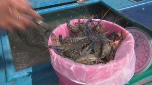 自救! 水產業向釣蝦場收購泰國蝦 銷售創雙贏