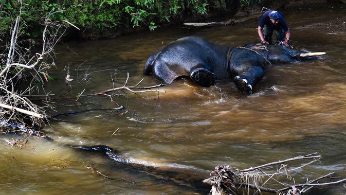 Nahas, Gajah Sumatra Mati Tersengat Listrik di Pidie
