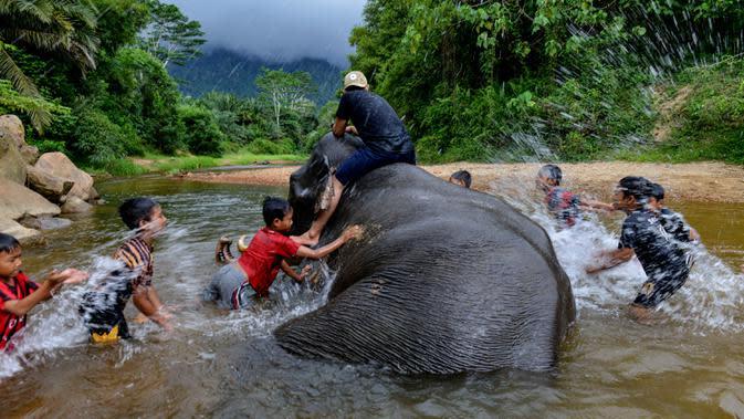 Pawang dan anak-anak memandikan gajah jinak di sungai kawasan Conservation Response Unit (CRU) Desa Naca, Trumon Tengah, Aceh Selatan, Jumat (19/6/2020). BKSDA Aceh memiliki 32 ekor gajah jinak untuk melakukan penggiringan gajah liar yang memasuki permukiman penduduk. (CHAIDEER MAHYUDDIN/AFP)