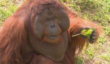 動物們也過端午 胭脂猴大啖粽子