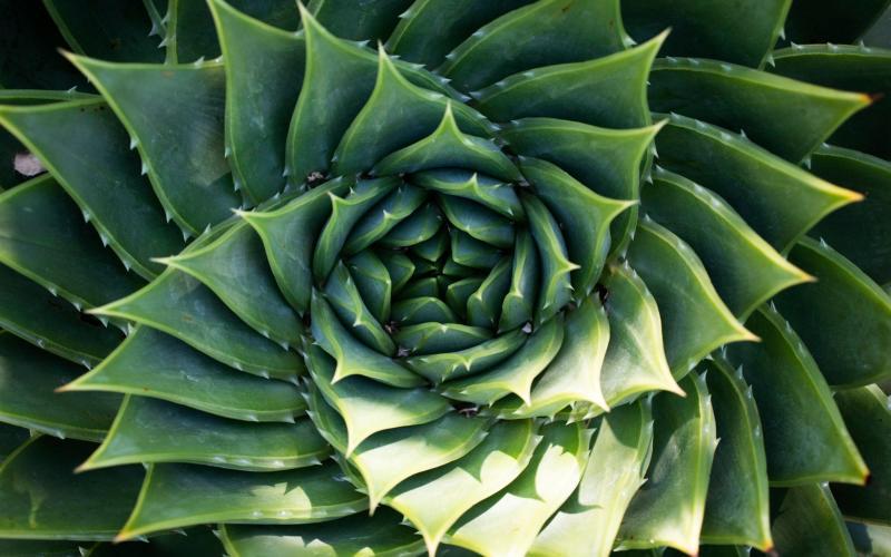 Aloe Polyphylla - Rii Schroer
