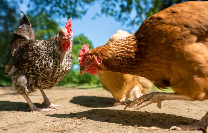 Free-range chickens, pictured above, may not be happier than caged chooks, a leading vet says. Source: Getty