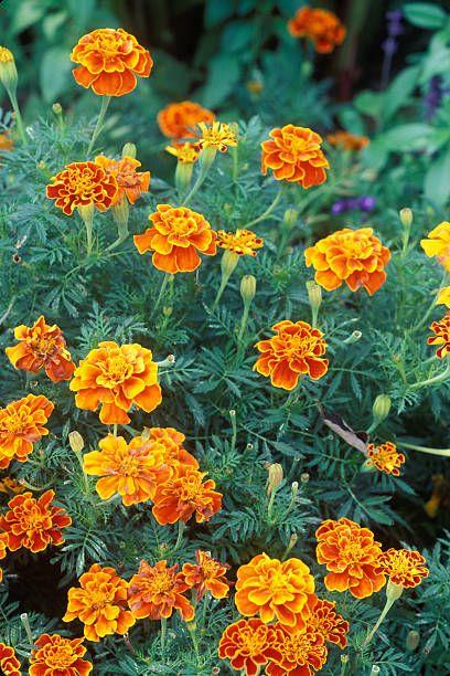 "<p>These sturdy annuals will keep going strong until the first hard freeze, so add some to fill in sparse containers or to dress up beds that need late season color. Marigolds come in bright yellow, orange and cream so they complement autumn's hues if you plan to decorate later with gourds and pumpkins.</p><p>Varieties to try:  Cottage Red, Endurance Gold</p><p><a class=""body-btn-link"" href=""https://go.redirectingat.com?id=74968X1596630&url=https%3A%2F%2Fwww.burpee.com%2Fflowers%2Fmarigolds%2Fmarigold-cottage-red-prod000261.html&sref=https%3A%2F%2Fwww.housebeautiful.com%2Flifestyle%2Fgardening%2Fg32460246%2Fwhat-to-plant-in-august%2F"" target=""_blank"">SHOP NOW</a></p>"