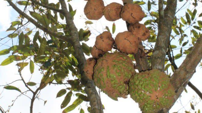 Indonesia Berhasil Ciptakan Durian Gundul