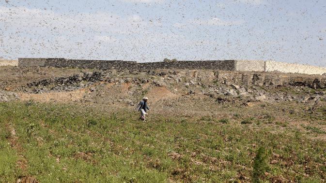 Seorang petani mencoba mengusir kawanan belalang yang menyerbu lahan pertanian di Provinsi Dhamar, Yaman, pada 6 Juni 2020. (Xinhua/Mohammed Mohammed)