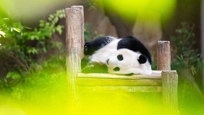 Panda raksasa Yi Yi tertidur saat perayaan hari ulang tahun (HUT) ke-2 dirinya di Kebun Binatang Nasional Malaysia, Selasa (14/1/2020). (Xinhua/Zhu Wei)