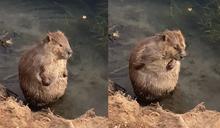 胖河狸在河邊「洗香香搓揉大肚腩」 網友萌翻笑:洗不到背