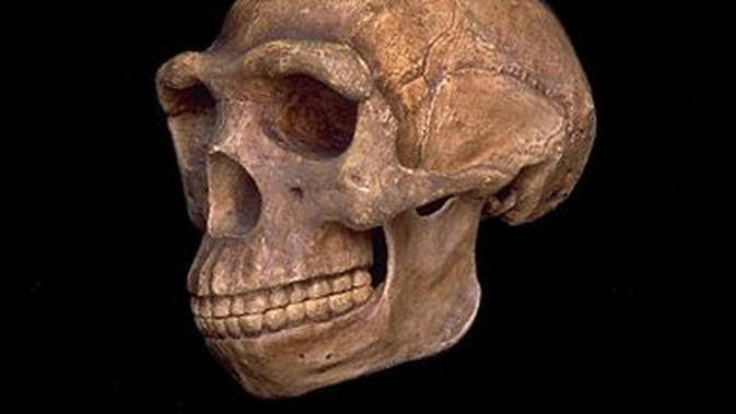 Fosil Pithecanthropus erectus / Sumber: Wikipedia