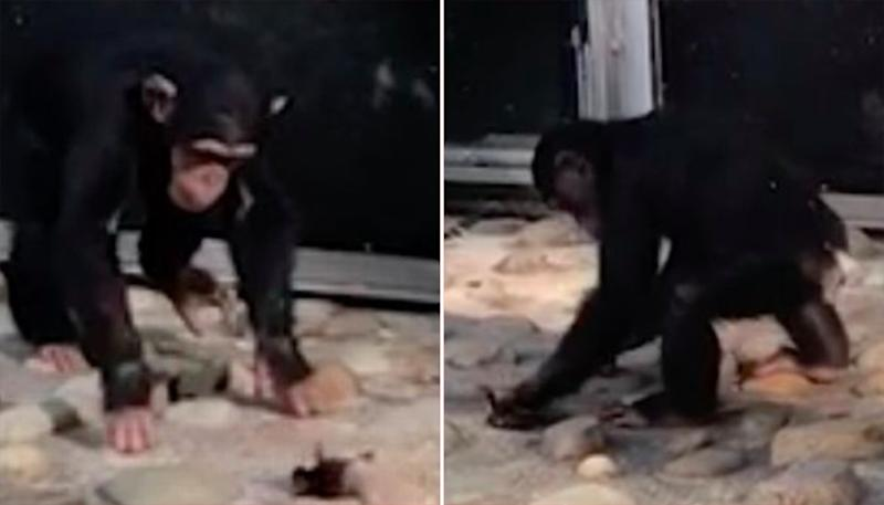 Savage chimpanzee attacks ducklings in Sydney zoo