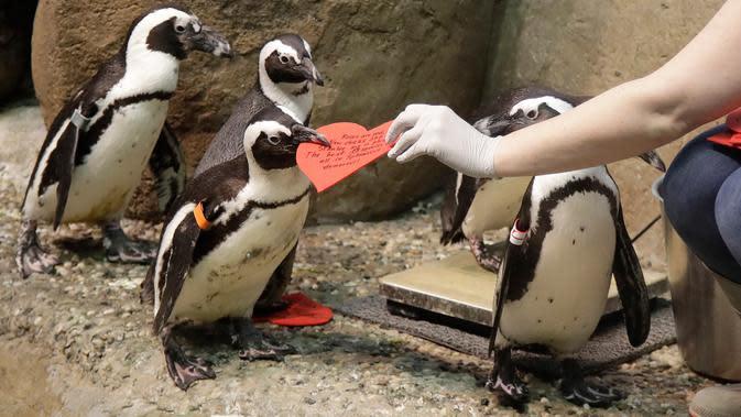 Penguin Afrika mengambil kartu valentine berbentuk hati di California Academy of Sciences, San Francisco, Rabu (12/2/2020). Penguin secara alami membangun sarang menggunakan kartu ucapan dari bahan itu dan menarik lawan jenis untuk meningkatkan populasi mereka yang terancam punah. (AP/Jeff Chiu)