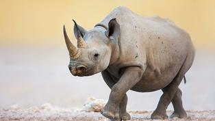 「人間獨角獸」—非洲黑犀牛的滅絕之路 亞洲市場親手打造|年度回顧專題