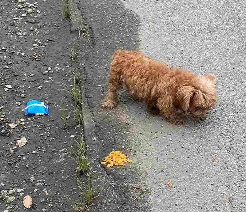 One of the abandoned poodles found at Bercham, Ipoh. ISPCA president Ricky Soong says the dog later died at an Ipoh Garden veterinary clinic. — Photo courtesy of Ricky Soong