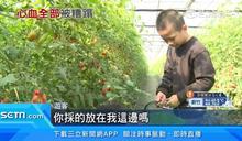 160斤番茄採了不買 觀光客扔地上