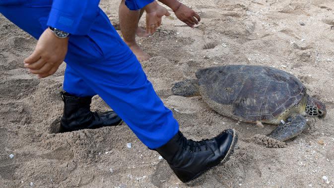 Anggota Ditpolairud Polda Bali melepasliarkan penyu hijau (Chelonia mydas) di Pantai Kuta, dekat Denpasar, Rabu (5/8/2020). Sebanyak 25 dari 36 ekor penyu hijau hasil sitaan dari upaya penyelundupan di perairan Serangan, Denpasar, dilepasliarkan. (SONNY TUMBELAKA/AFP)