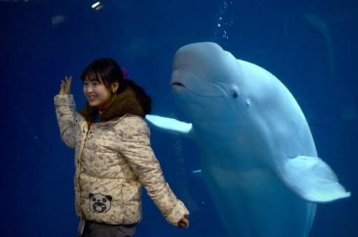 Filer of a captive beluga whale in a Beijing zoo, 10/01/16. Two beluga whales performing in a Shanghai aquarium are to be flown to a new sanctuary in Iceland as the popularity of marine shows wanes