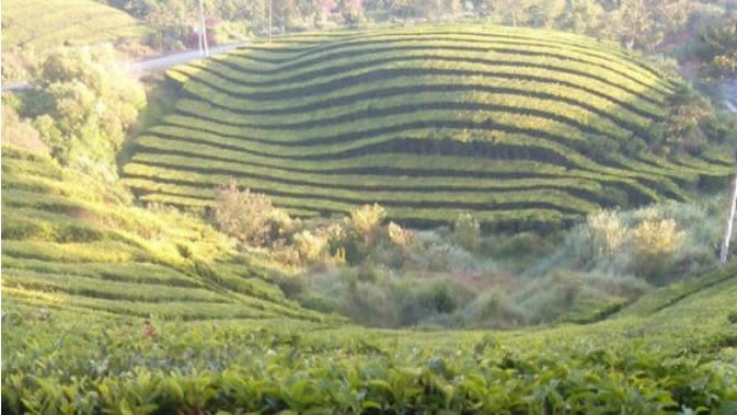 Kondisi rute dan pemandangan di Kayu Aro. Hamparan perkebunan teh Kayu Aro ini bakal dilintasi Tour de Singkarak pada etape ke-7 yang digelar 8 November 2019. (Liputan6.com/Gresi Plasmanto)