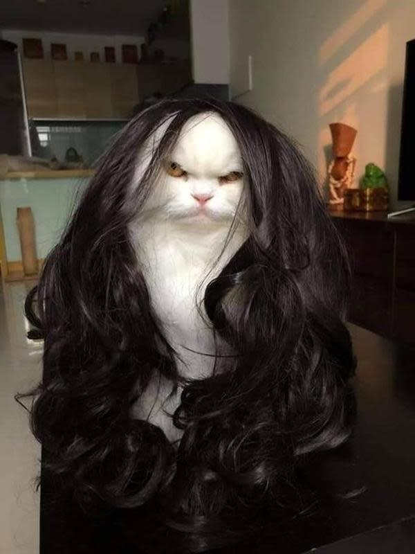 Potret Kucing saat Memakai Wig ini sukses Bikin Gemes (sumber:Twitter/@akusicewe)