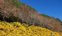 武陵農場芳香萬壽菊盛開 美麗花海超吸睛