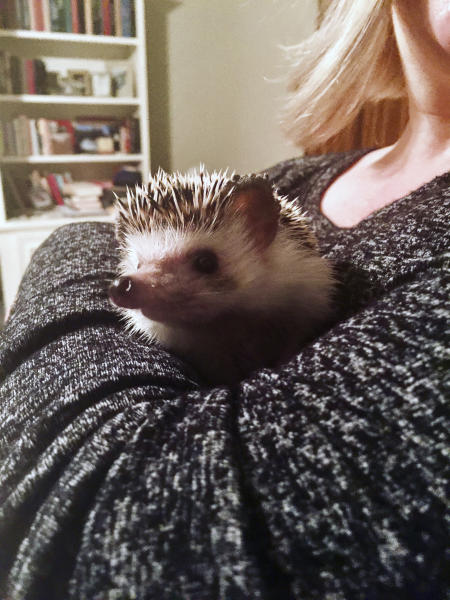 In this April 2, 2020 photo provided by Rachael Pavlik, pet hedgehog Quillie Nelson is held by her owner Rachael Pavlik in Sugar Land, Texas. Many pet owners are taking comfort in their animals as they shelter at home amid the coronavirus pandemic. (Rachael Pavlik via AP)