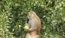 疑久旱不雨沒水喝 火炎山猴群入侵橘子園 (圖)