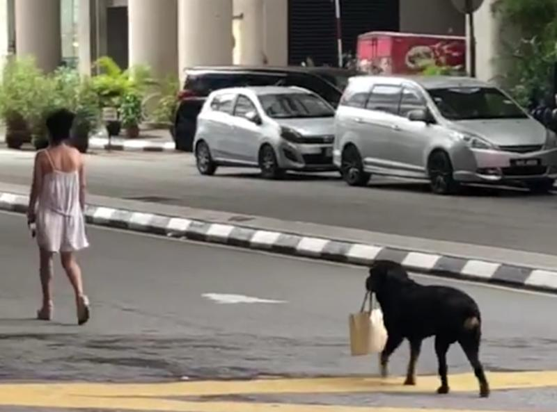 A Rottweiler was caught on camera holding its owner's handbag in the Bukit Bintang area. While some praised the dog, others criticised the owner for allowing the dog to walk without a leash. — Screenshot from Facebook