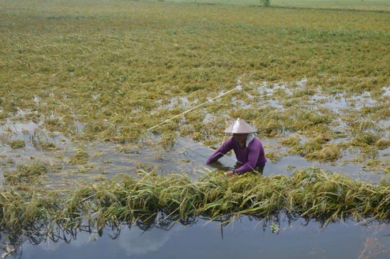 Petani miskin yang puso akibat banjir di Jateng bakal dapat asuransi
