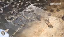 鱷魚也怕冷!電熱棒加熱「爽泡溫泉」